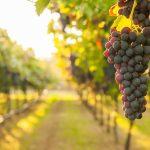 Best wineries  in ibiza